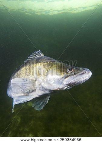 Freshwater fish pike perch (Sander lucioperca) in the beautiful clean pound. Underwater shot in the lake. Wild life animal. Pike perch in the nature habitat with nice background. Live in the lake. poster