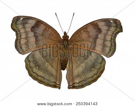 The Brown-colored Chocolate Pansy Or Chocolate Soldier Butterfly From Asia, Junonia Or Precis Iphita