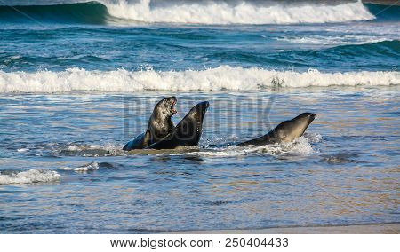 Brown Fur Seal (arctocephalus Pusillus) Or Austalasian Fur Seal, A Pair Frolic On The Beach, Otago,