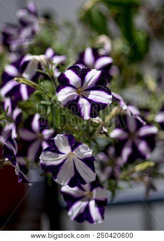 Violet White Pelargonium - Flowers On The Terrace