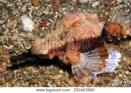 Dragon Sea Moth (eurypegasus Draconis, Aka Little Dragonfish, Short Dragonfish, Common Seamoth). Lem