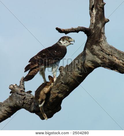 Martial Eagle with its pray a Cape Hare. poster