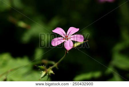 A Beautiful Pink Bloom Of Geranium Robertianum In Grassland