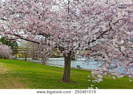 Blossoming Cherry Tree Along The Potomac River In East Potomac Park. Bench Under The Tree Facing The