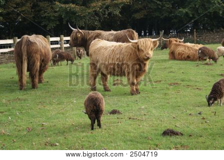 Highland cattle cow with sheep in a farm. Cows and sheep in farm. poster