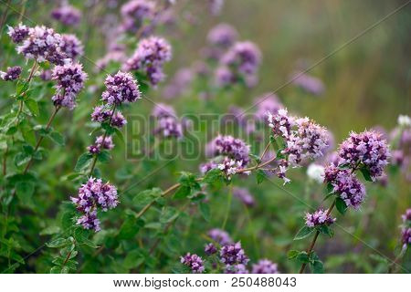 Violet-pink Flowers Of Oregano (origanum Vulgare) In July Close-up