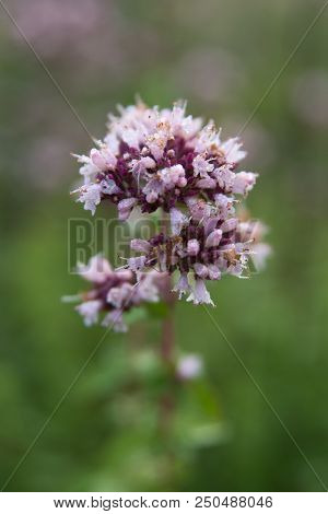 Purple Flower Of Origanum Vulgare Or Common Oregano Close Up