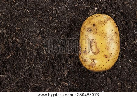 Raw Potato. Fresh Potato On The Soil. Fresh Potato On The Soil Background. Raw Potato On The Ground