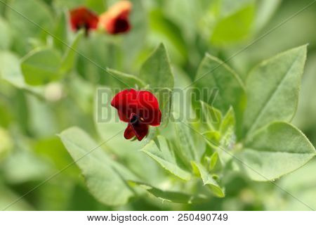 Flower Of An Asparagus-pea (tetragonolobus Purpureus)