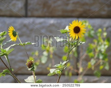 Wild Sunflowers Grow Outside A City Soccer Complex. The Beauty Of The Flowers Against A Stone Wall M