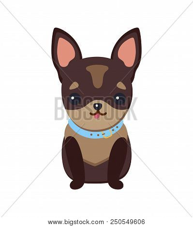 Chihuahua Puppy With Collar Of Blue Color, Dog Of Tiny Breed With Tongue Sticking Out, Domestic Pet