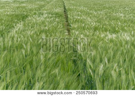 close up view of a young and fast growing wheat field in lustrous green and a slight wind poster
