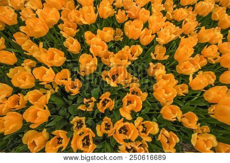 Beautiful Yellow An Orange Tulips Close Up On A Sunny Day