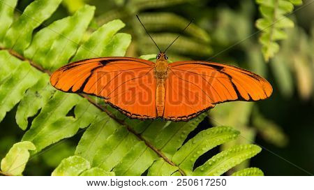 Beautiful Julia Heliconian (Dryas iulia) butterfly sitting on a green plant with open wings