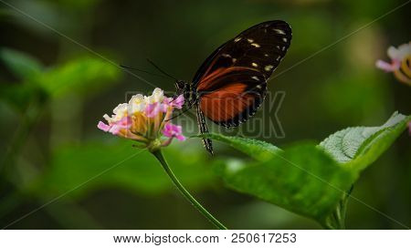 Doris Longtail Butterfly, heliconius doris, sitting on a flower and sucking pollen
