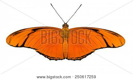 Beautiful Julia Heliconian (Dryas iulia) butterfly isolated on white