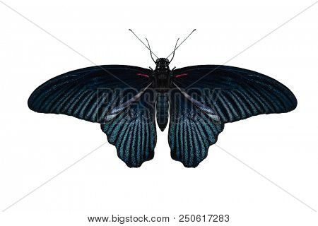 male Great Mormon Butterfly, Papilio Memnon, isolated on white