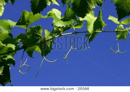 Grape Leaves And Vines