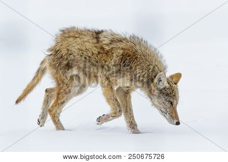 Mangey Coyote. Wild Coyote In The Rocky Mountains Of Colorado
