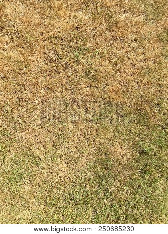 Faded grass on a golf course fairway - the hottest and driest summer for 40 years with temperatures passing 30 degrees across the country - UK poster