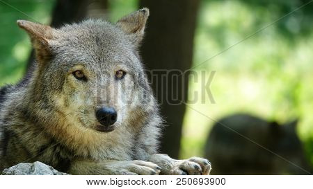 Pair of wolves one first plan close up wild animals