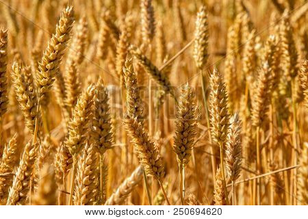 Spikes Of Golden Wheat. Harvest Concept. Stock Photo.