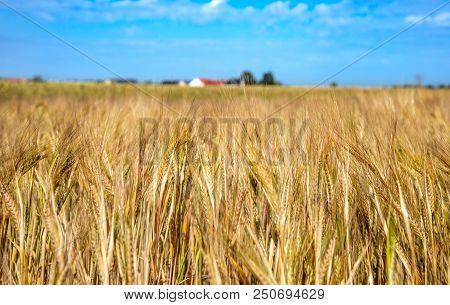 Field Of Ripening Barley. Harvest Concept. Stock Photo.