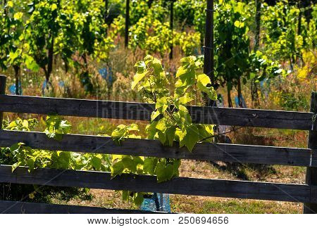 Vineyard In Sweden A Sunny Daylight. Stock Photo.