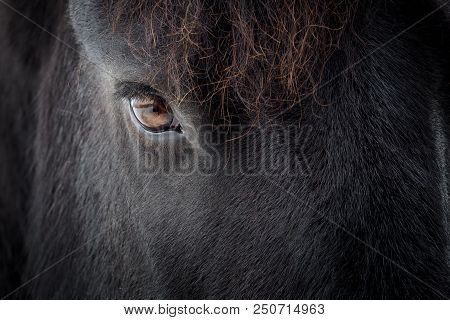 Eye Of A Friesian Horse. Black Horse.