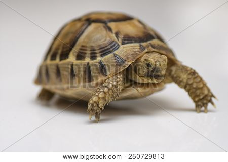 Baby Turtle. Little Turtle. Head Footed Tortoise. Turtle Isolated On White Background
