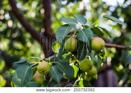 On The Tree Grow Green Fresh Pears. Pear Tree With Pears. Sunny Day