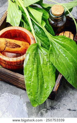 Leaf of greater plantain in a box with a mortar and mixture.Plantago lanceolata poster
