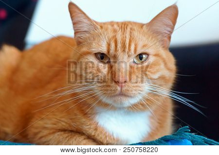 ginger house cat, well maintained clean fluffy cat poster