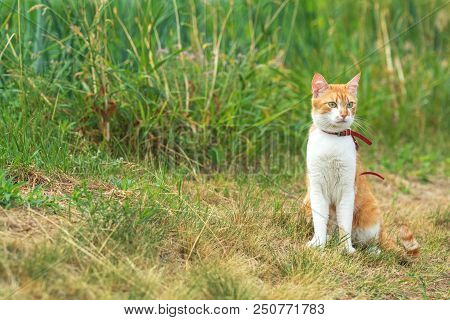 Cute White-red Cat In A Red Collar Watching For Something On The Garden Of Green Grass. Beautiful Da