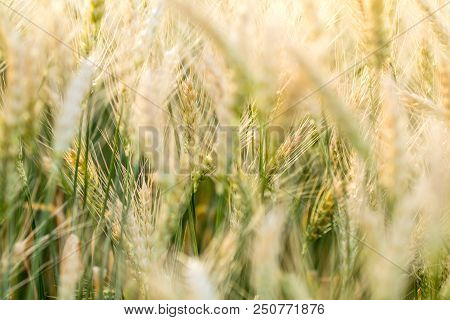 Wheat Rye Field, Ears Of Wheat Close Up. Harvest And Harvesting Concept. Ripe Barley On The Field On