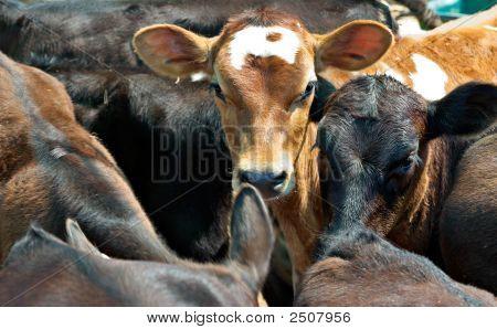 Calves In A Feedlot