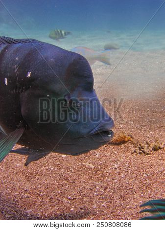 Underwater Photo, A View Of The Corals And Napoleon Fish In The Red Sea In Israel