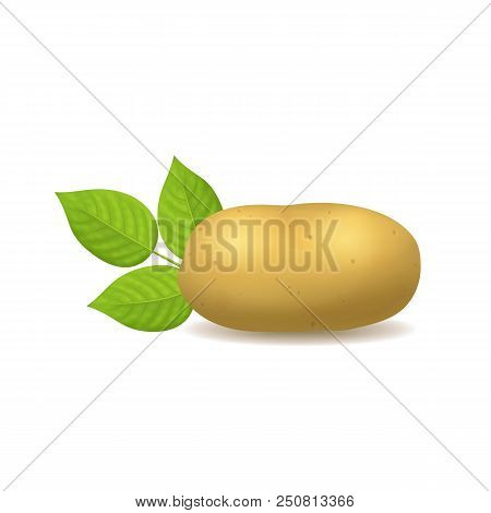 Realistic Detailed 3d Whole Potato On A White Ripe Raw Unpeeled Root Fresh Natural Product. Vector I