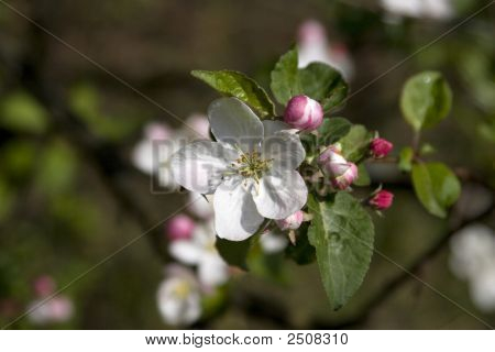 Apple-Tree Blossom