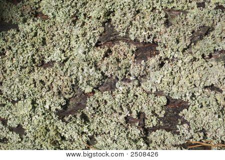 Moss ( Anophyte) On Bark Pine.