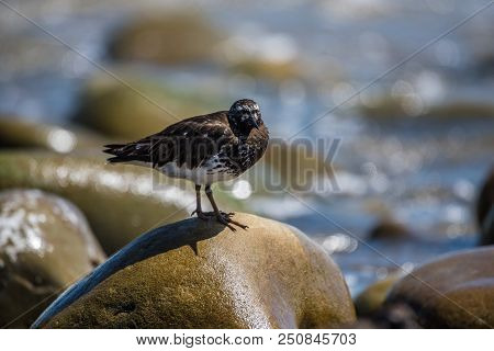 Ruddy Turnstone Bird Perched On Wet Rock In Ocean Tide Pool While Foraging For Food.