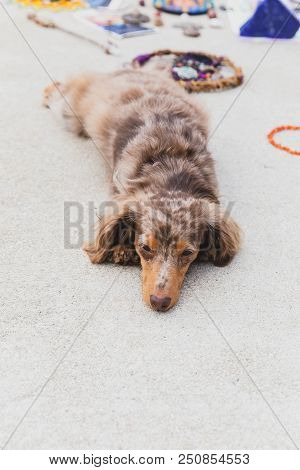 Longhaired Dapple Dachshund Dog Laying On Concrete Or Pavement With Decorative Stones And Jewelry In