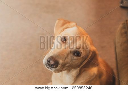 Young Mixed-breed Labrador Puppy Looks At The Camera With Its Head Tilted To The Side.