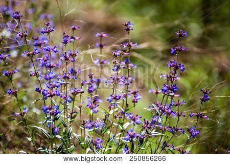 Small, Purple Flowers Soak In Shining Sunlight In A Wilderness Area. Summer Day In Idaho, Usa.