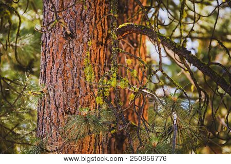 Golden Sunset Light Casts Across Reddish-brown Tree Bark In The Sawtooth National Forest Of Idaho (u