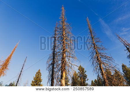 Tall, Dead Trees Stand High Against A Deep Blue Summer Sky. Sawtooth National Forest, Idaho, Usa.