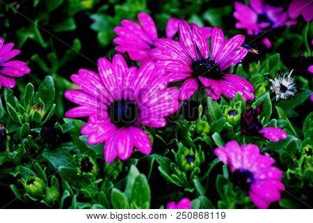 Purple Dasies Flower In Garden, Pennington Kzn