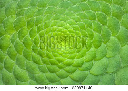 Symmetric green background of cactus succulent plants, close-up. Ideal geometry in nature, macro. poster