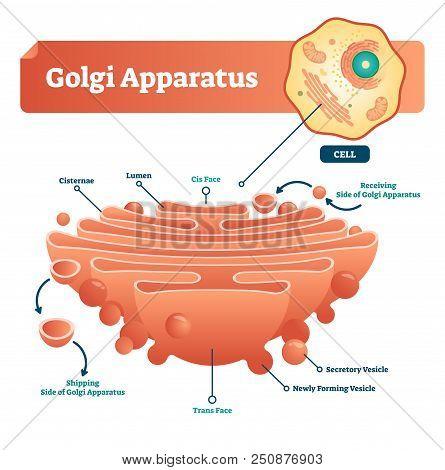 Golgi Apparatus Vector Illustration. Labeled Microscopic Scheme With Cisternae, Lumen, Cis Or Trans