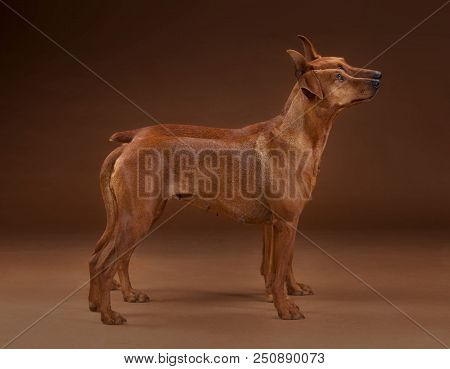 Couple Of Pinscher Dog Together From Sideways In Studio With Brown Background, The Same Tonality Of